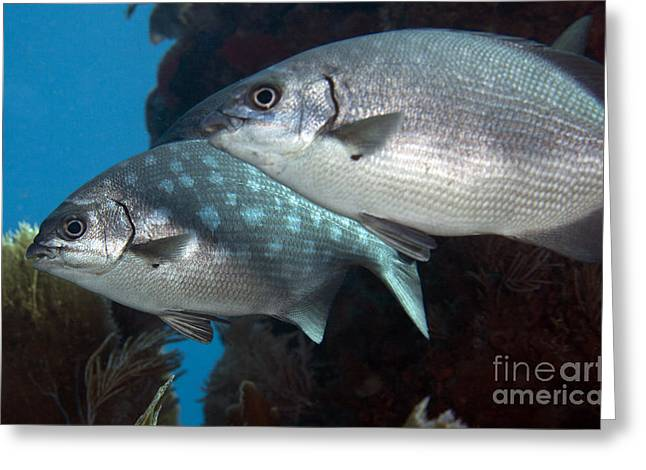Undersea Photography Greeting Cards - A Pair Of Bermuda Sea Chubs, Key Largo Greeting Card by Terry Moore