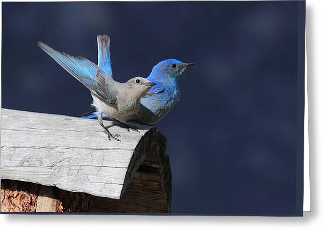 Mating Season Greeting Cards - A Pair Of Bluebirds Greeting Card by Shane Bechler