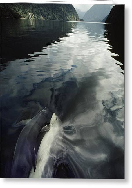 Doubtful Greeting Cards - A Pair Of Bottlenose Dolphins Ride Greeting Card by David Doubilet