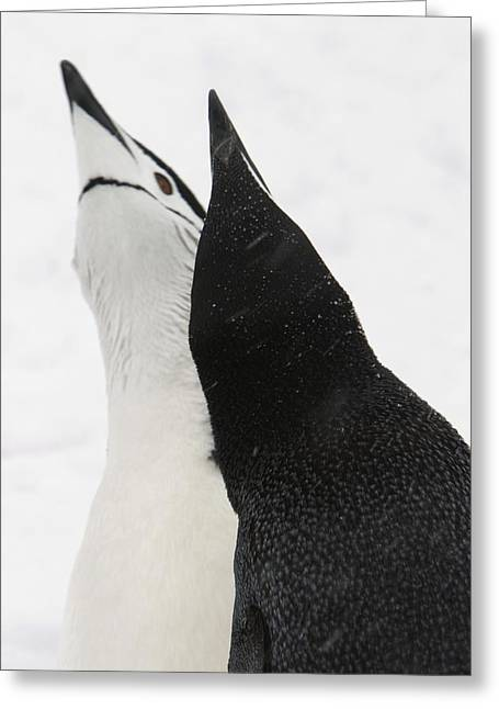A Pair Of Chinstrap Penguins Greeting Card by Ralph Lee Hopkins