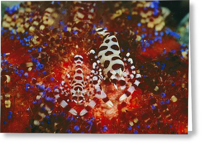 Coleman Shrimp Greeting Cards - A Pair Of Colemans Shrimp Residing Greeting Card by Wolcott Henry