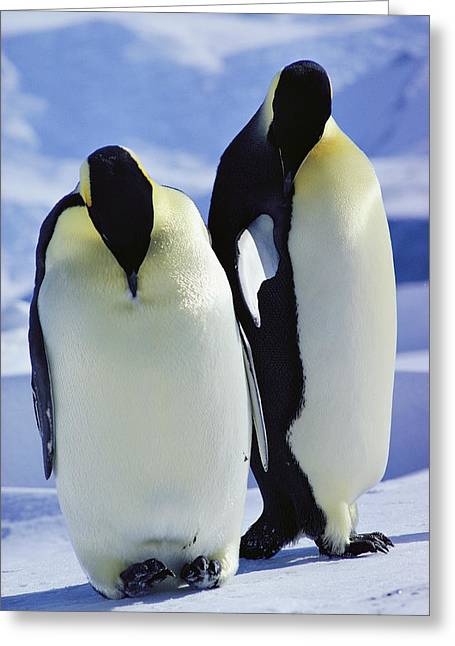 Antarctic Ocean Greeting Cards - A Pair Of Emperor Penguins, Aptenodytes Greeting Card by Bill Curtsinger