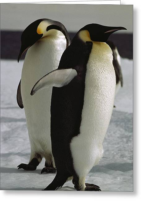 Antarctic Ocean Greeting Cards - A Pair Of Emperor Penguins On The Icy Greeting Card by Bill Curtsinger