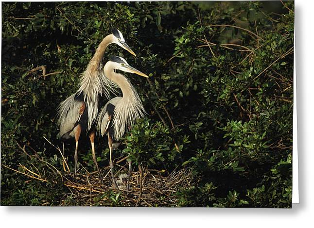 Ardea Greeting Cards - A Pair Of Great Blue Herons Protect Greeting Card by Klaus Nigge