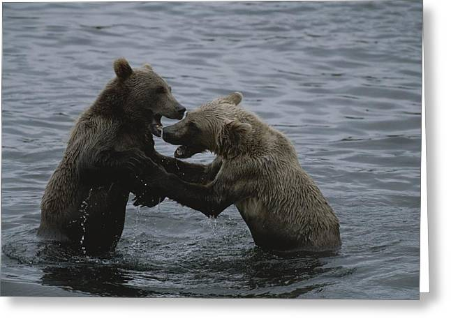 Kodiak Greeting Cards - A Pair Of Grizzly Bears, Ursus Arctos Greeting Card by Karen Kasmauski
