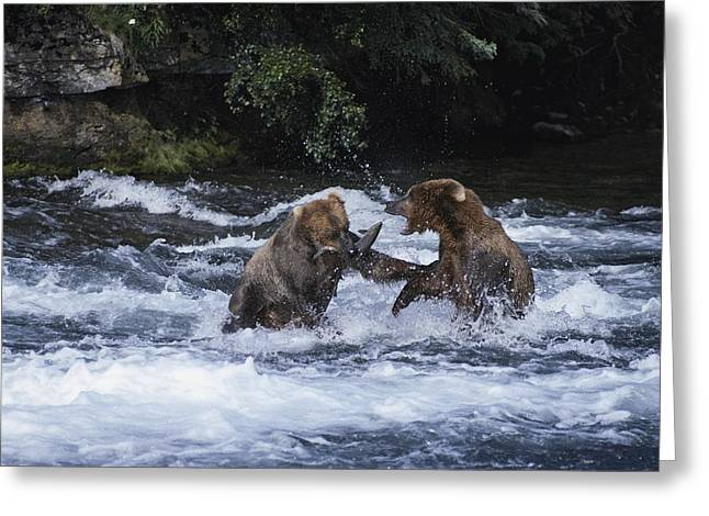 Aggression And Competition Greeting Cards - A Pair Of Grizzly Bears Ursus Arctos Greeting Card by Paul Nicklen