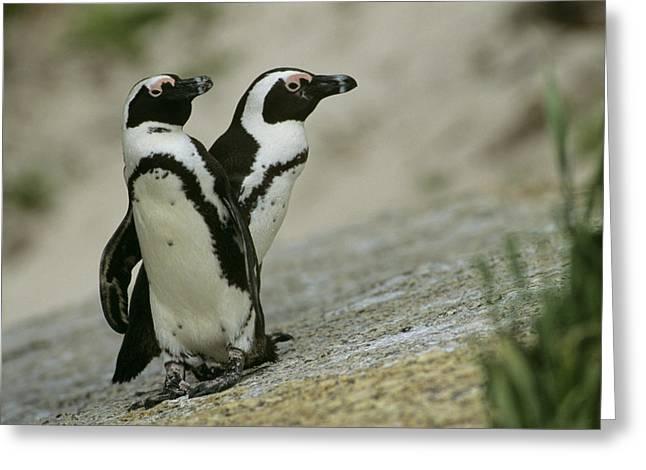 Jackass Greeting Cards - A Pair Of Jackass Penguins Spheniscus Greeting Card by Kenneth Garrett
