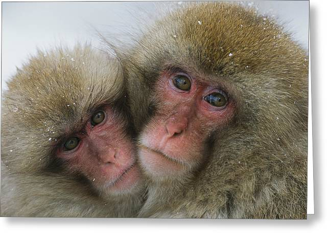 A Pair Of Japanese Macaques, Or Snow Greeting Card by Tim Laman