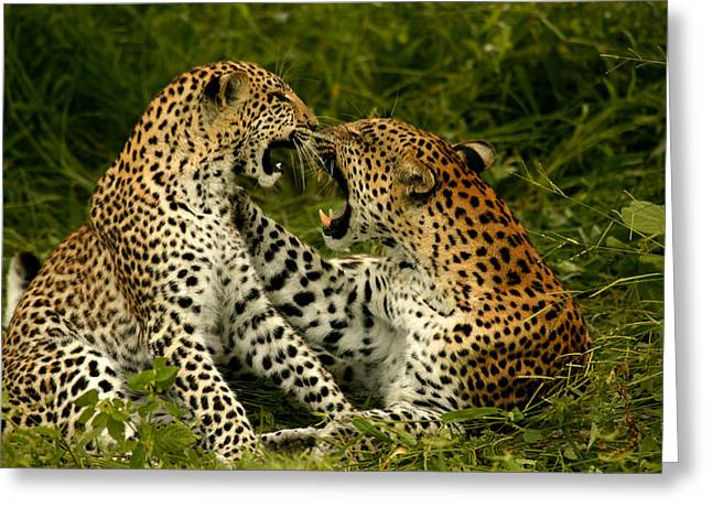 Aggression And Competition Greeting Cards - A Pair Of Leopards Resting And Play Greeting Card by Beverly Joubert