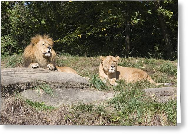 A Pair Of Lions In The Pittsburgh Zoo Greeting Card by Stacy Gold