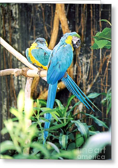 Macaw Greeting Cards - A pair of Macaws Greeting Card by Ralph Martens