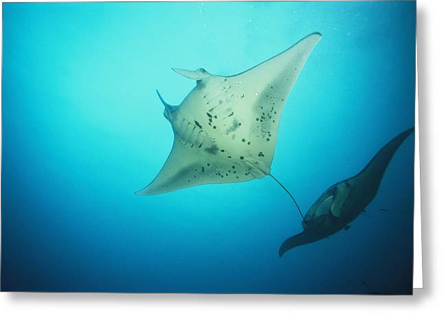 Yap Greeting Cards - A Pair Of Manta Rays In The Waters Greeting Card by Heather Perry