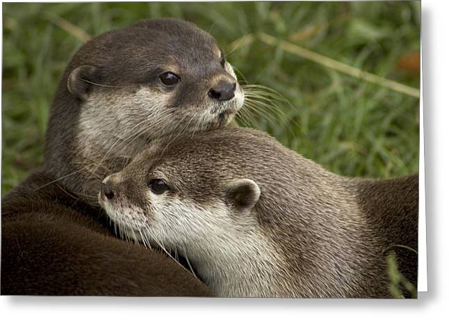 Parks And Wildlife Greeting Cards - A Pair Of Mated Asian Short-clawed Greeting Card by Nicole Duplaix