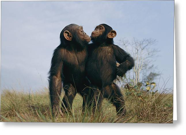 Looking Around Greeting Cards - A Pair Of Orphan Chimpanzees Greeting Card by Michael Nichols