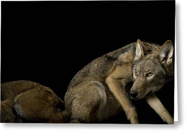Full-length Portrait Greeting Cards - A Pair Of Red Wolves, Canis Rufus Greeting Card by Joel Sartore