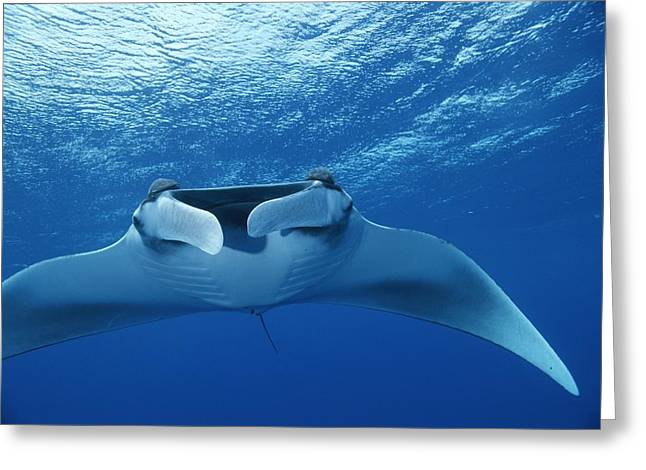 Turks And Caicos Islands Greeting Cards - A Pair Of Remoras Hitch A Ride Greeting Card by Brian J. Skerry