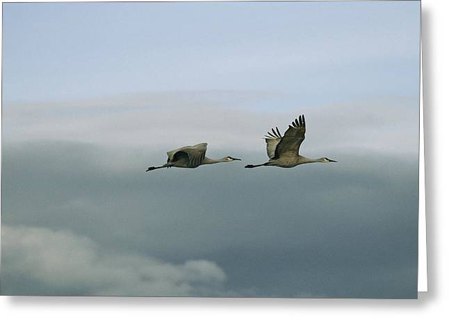 Animals In Action Greeting Cards - A Pair Of Sandhill Cranes In Flight Greeting Card by Marc Moritsch