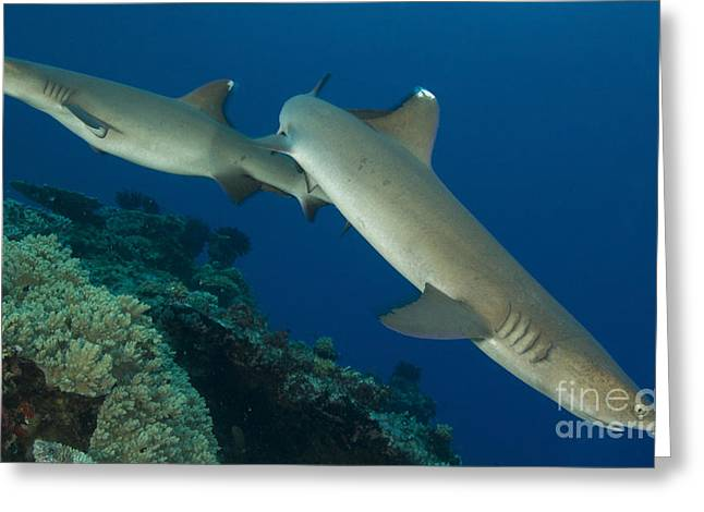 Kimbe Bay Greeting Cards - A Pair Of Whitetip Reef Sharks, Kimbe Greeting Card by Steve Jones