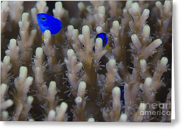 Damselfish Greeting Cards - A Pair Of Yellowtail Damselfish Amongst Greeting Card by Steve Jones