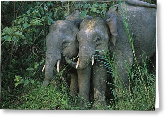 Borneo Island Greeting Cards - A Pair Of Young Asian Elephants Stand Greeting Card by Tim Laman