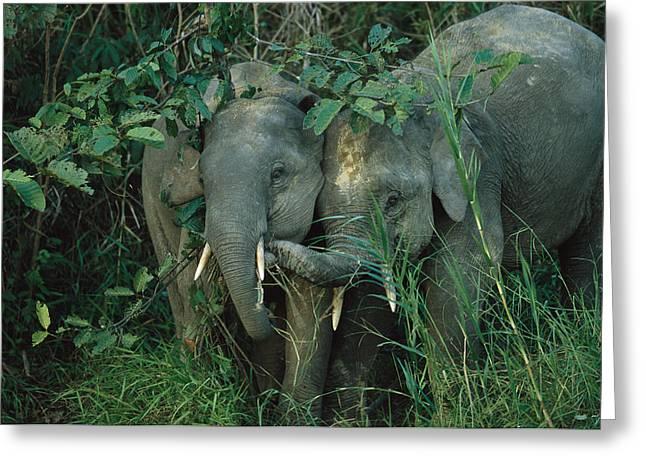 Borneo Island Greeting Cards - A Pair Of Young Asian Elephants Greeting Card by Tim Laman