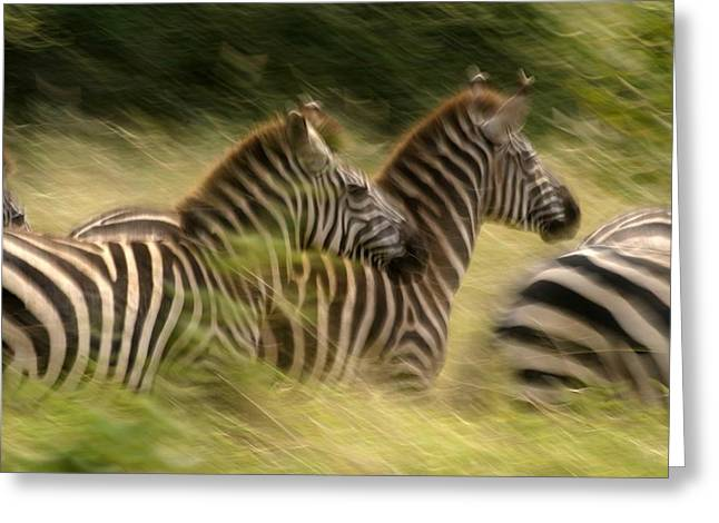 Panned Views Greeting Cards - A Panned View Of Common Zebras Running Greeting Card by Roy Toft