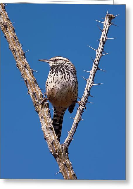 Thorny Desert Plant Greeting Cards - A Perched Cactus Wren Greeting Card by Bob Gibbons