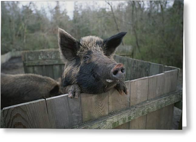 Farmers And Farming Greeting Cards - A Pig Looks Over The Side Of Its Pen Greeting Card by Michael Melford