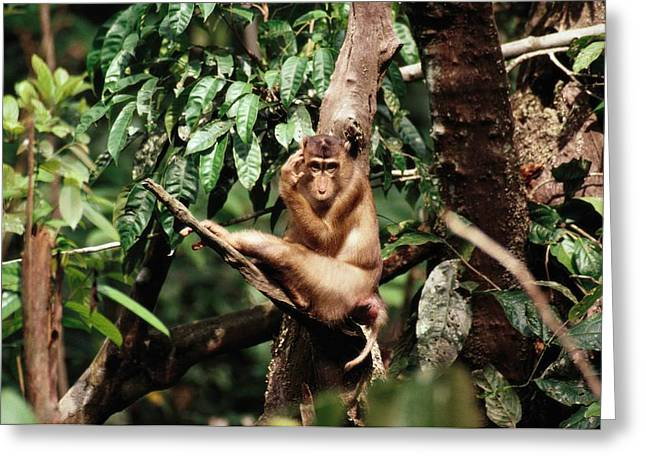 Borneo Island Greeting Cards - A Pig-tailed Macaque Macaca Nemestrina Greeting Card by Tim Laman