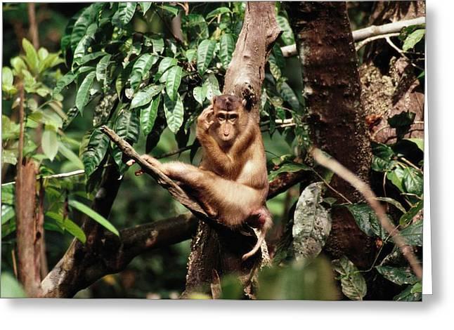 A Pig-tailed Macaque Macaca Nemestrina Greeting Card by Tim Laman