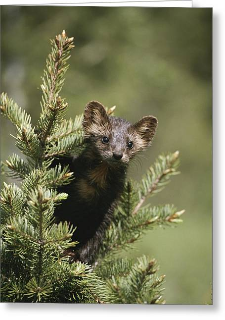 Take Action Greeting Cards - A Pine Marten Martes Martes Watches Greeting Card by Tom Murphy