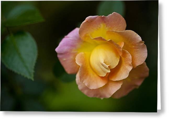 Space Flower Greeting Cards - A Pink And Yellow Rose Grows Greeting Card by Hannele Lahti