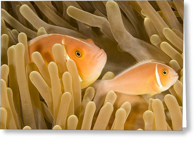 Damselfish Greeting Cards - A Pink Anemone Fish In A Coral Reef Greeting Card by Tim Laman
