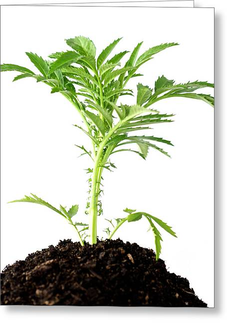 Development Of Life Greeting Cards - A Plant Buried In A Mound Of Soil Greeting Card by Brooke Whatnall