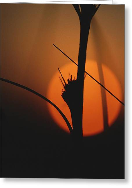 Park Scene Greeting Cards - A Plant Stalk Silhouetted Greeting Card by Raul Touzon