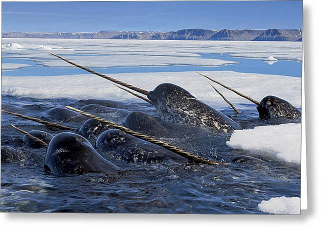 Narwhal Greeting Cards - A Pod Of Male Narwhals Gather Greeting Card by Paul Nicklen