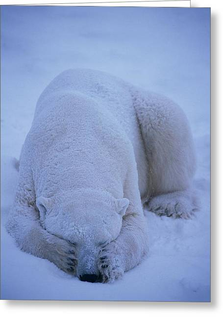 Roost Photographs Greeting Cards - A Polar Bear Covers His Eyes To Get Greeting Card by Paul Nicklen