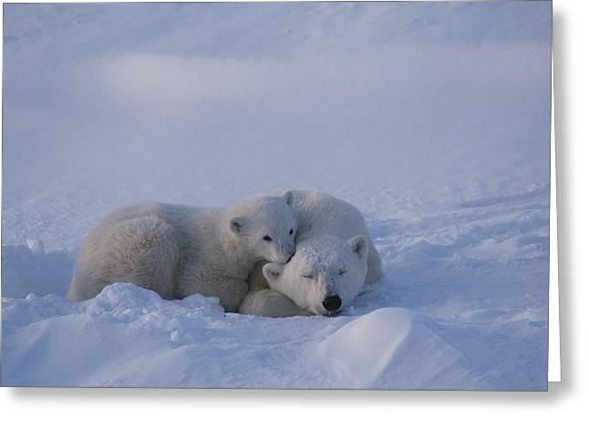 Juvenile Mammals Greeting Cards - A Polar Bear Cub Ursus Maritimus Rests Greeting Card by Tom Murphy