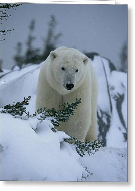 Scenes And Views Photographs Greeting Cards - A Polar Bear In A Snowy, Twilit Greeting Card by Norbert Rosing