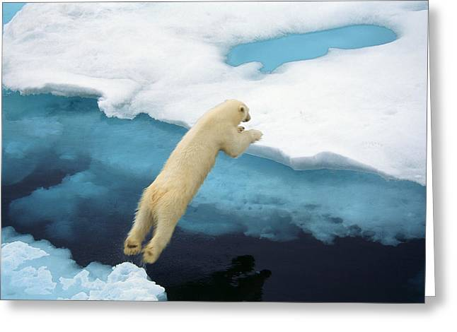 Svalbard Greeting Cards - A Polar Bear Leaps Between Ice Floes Greeting Card by Ralph Lee Hopkins