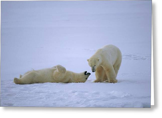 Roost Photographs Greeting Cards - A Polar Bear Lies Down For A Rest While Greeting Card by Paul Nicklen