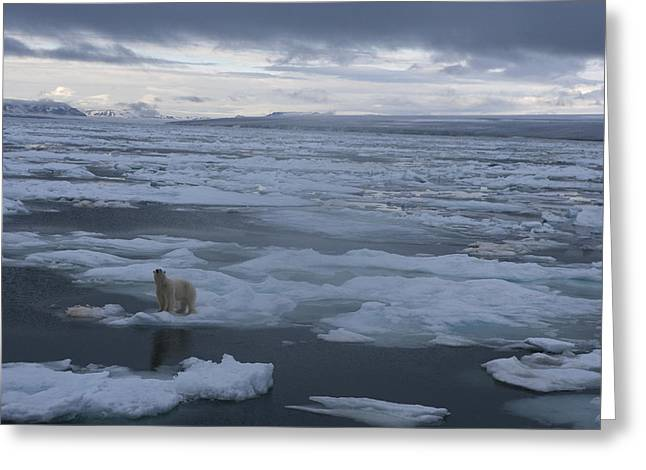 Abandonment Greeting Cards - A Polar Bear On A Disintergrating Ice Greeting Card by Paul Nicklen