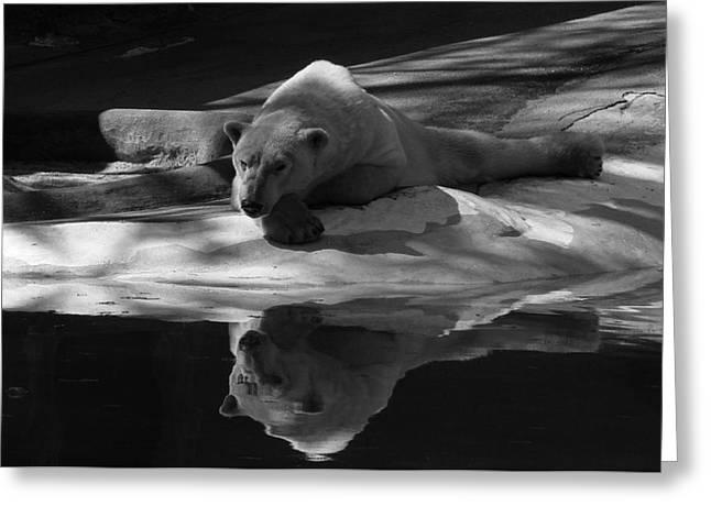 A Polar Bear Reflects Greeting Card by Karol  Livote