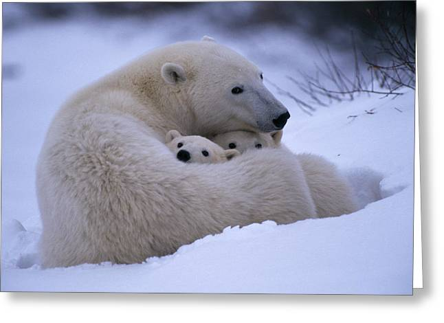 Roost Photographs Greeting Cards - A Polar Bear Snuggles Up With Her Cubs Greeting Card by Paul Nicklen
