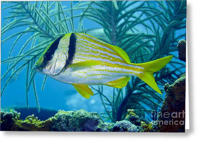 A Porkfish Swims By Sea Plumes Greeting Card by Terry Moore