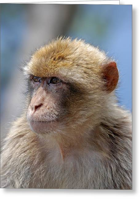 Humanlike Greeting Cards - A portait of a monkey in Gibraltar Greeting Card by Perry Van Munster