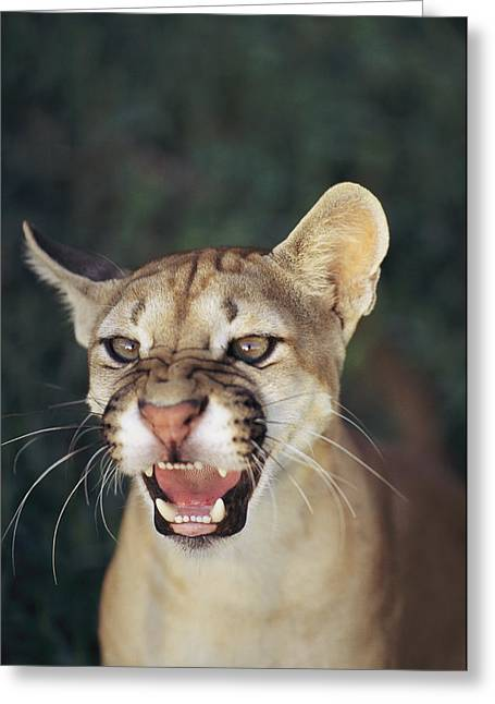 Anger And Hostility Greeting Cards - A Portait Of A Snarling Puma Greeting Card by Ed George