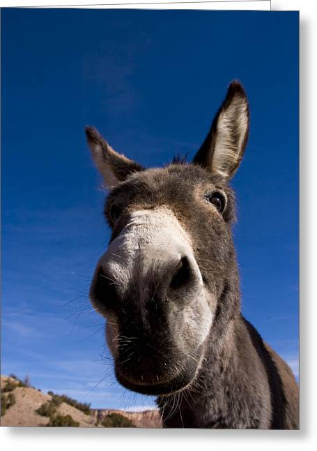 Gray Muzzle Greeting Cards - A Portrait Of A Burro In New Mexico Greeting Card by Ralph Lee Hopkins