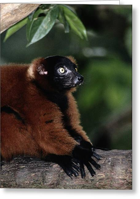 Red-ruffed Lemur Greeting Cards - A Portrait Of A Captive Red-ruffed Greeting Card by Tim Laman