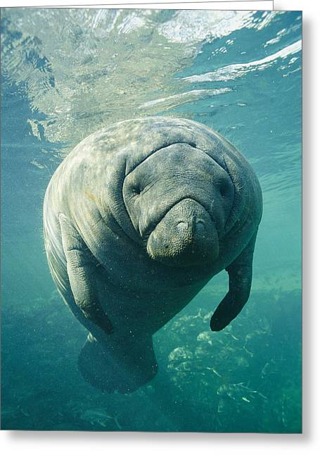 Southern States Greeting Cards - A Portrait Of A Florida Manatee Greeting Card by Brian J. Skerry